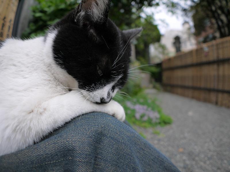 膝の上で毛繕いする白黒猫2
