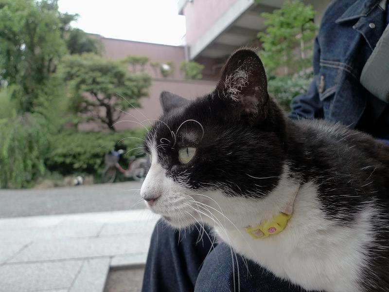 膝に乗って何かを見ている黒白猫2