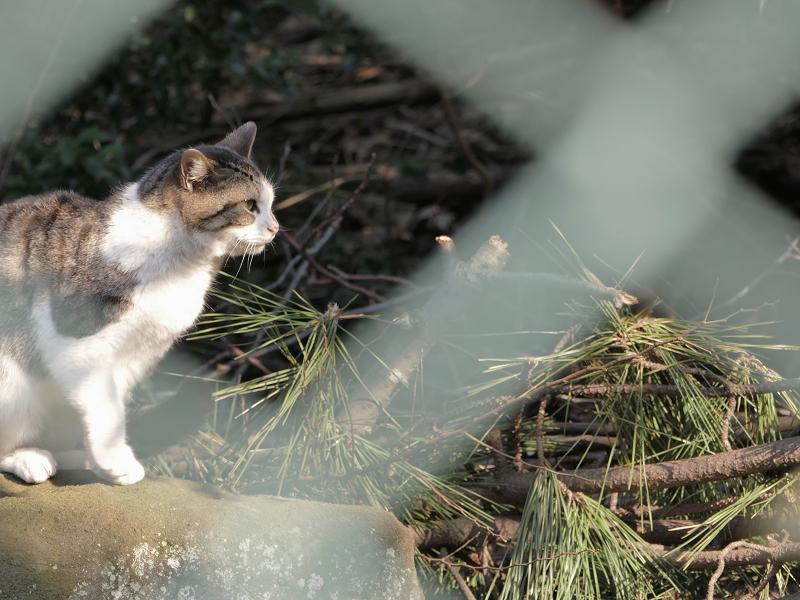 金網越しに横を見てるキジ白猫