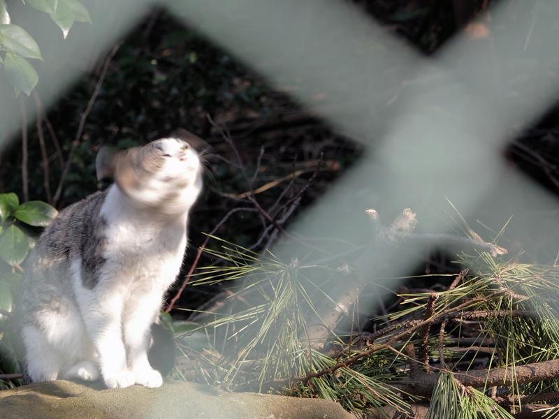 金網越しに顔を振ってるキジ白猫