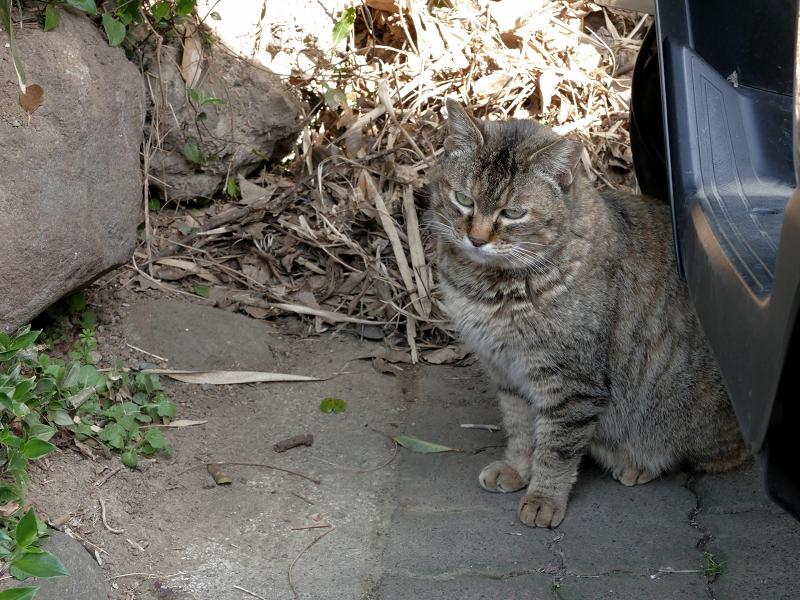 山の麓のキジトラ猫