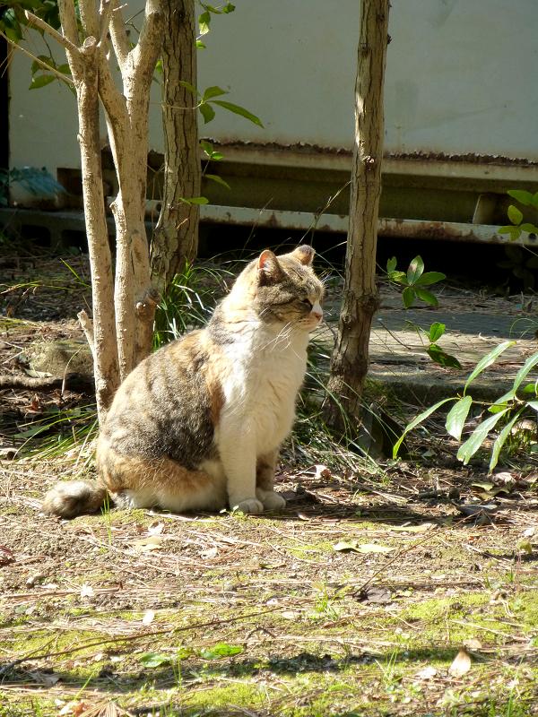 草むらに座ってる三毛猫