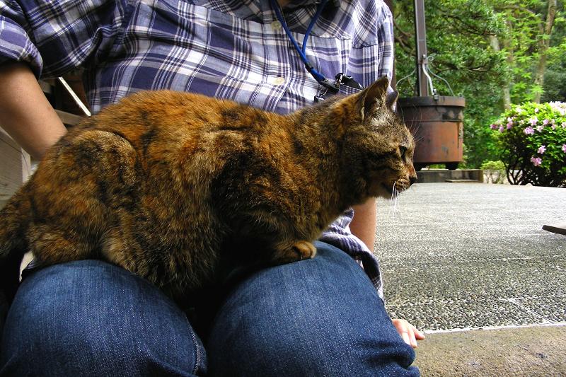 最後まで膝に乗ってるサビ柄猫1