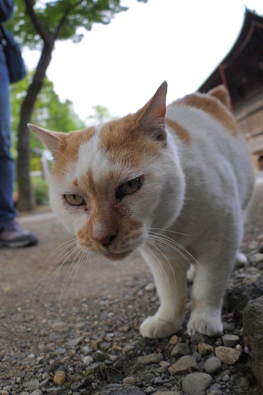 カメラを覗く白茶猫