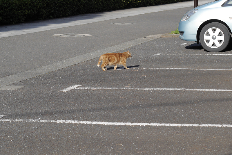 駐車スペースを横切るアメショー風猫1