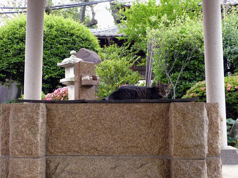 井戸とキジトラ猫2