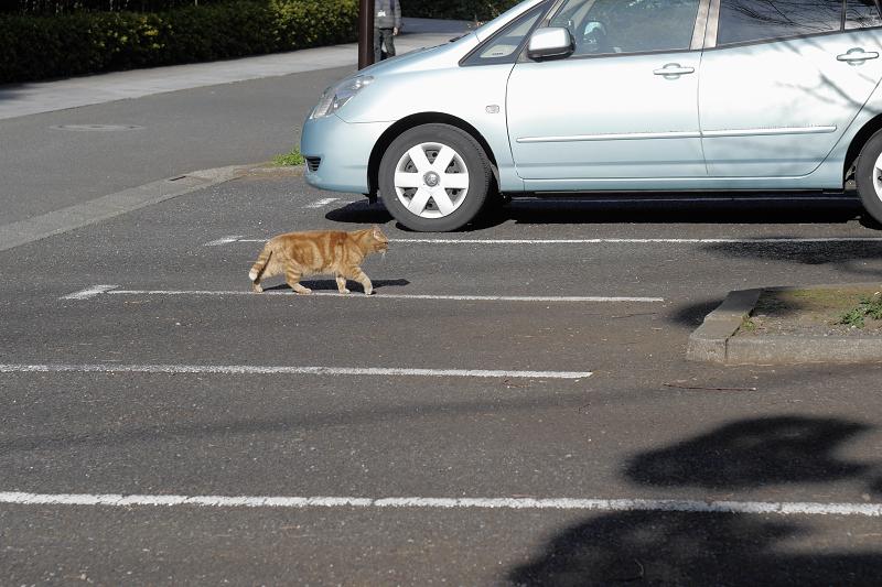 駐車スペースを横切るアメショー風猫2
