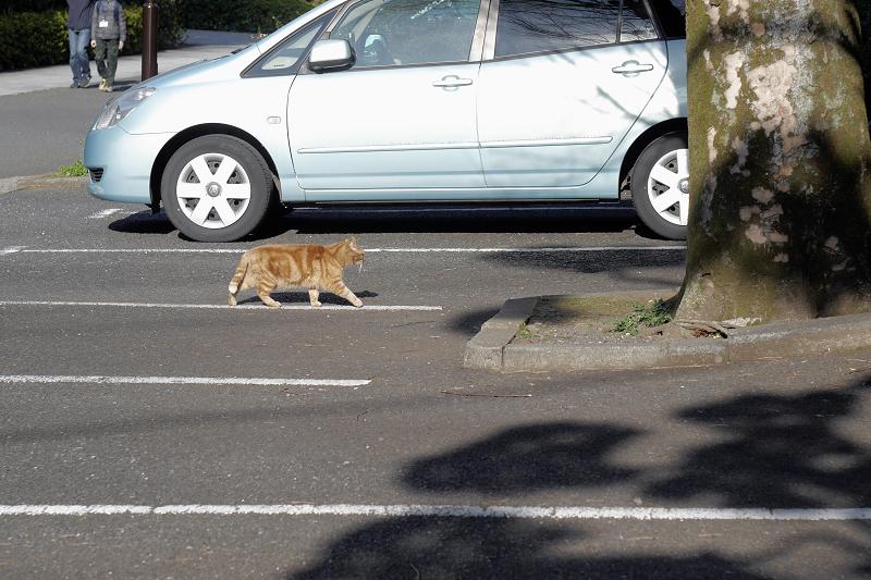 駐車スペースを横切るアメショー風猫3