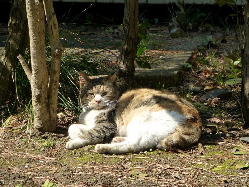 草むらで横になってる三毛猫1