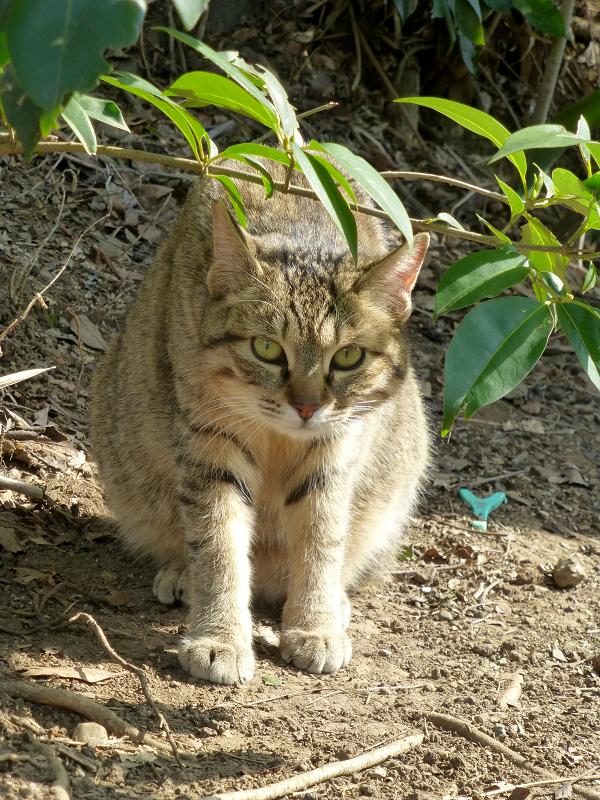 山の麓草むらキジトラ猫