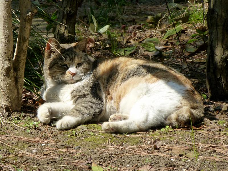 草むらで横になってる三毛猫2
