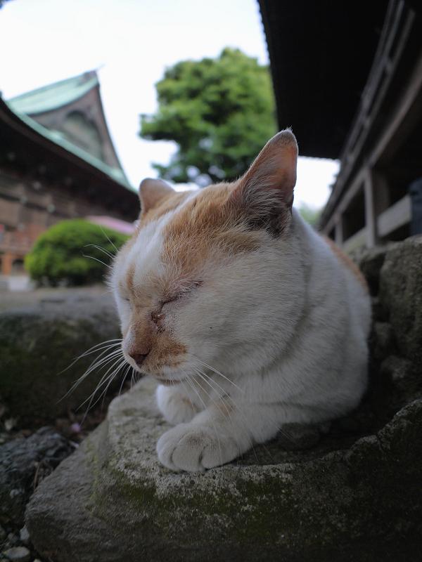 礎石で休憩する白茶猫