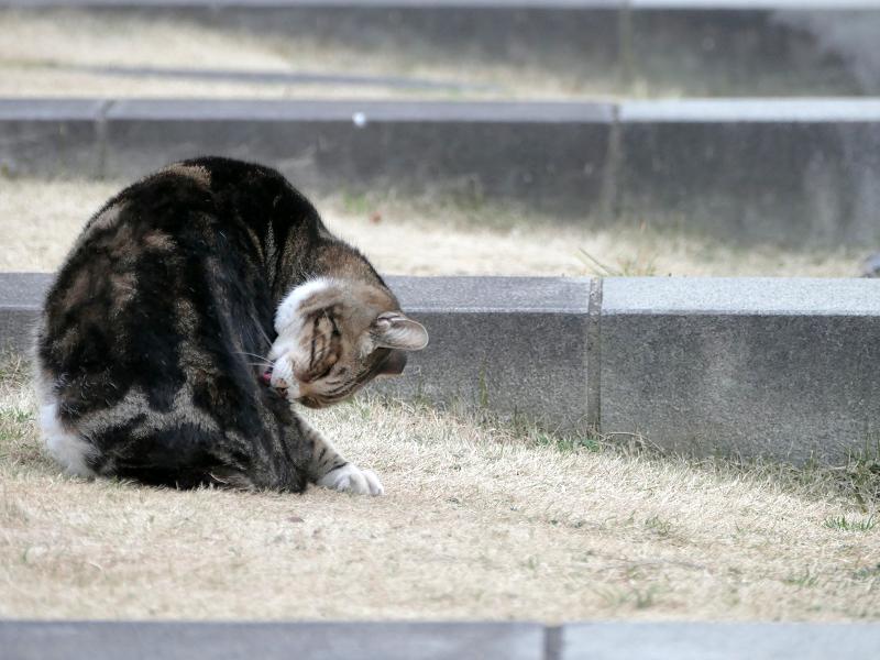 水の施設で毛繕いするアメショー風猫1