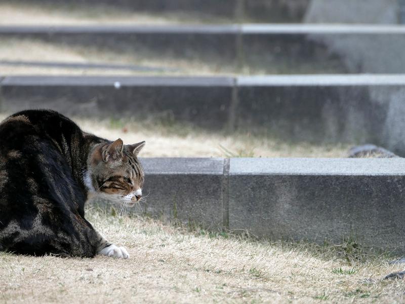 水の施設で毛繕いするアメショー風猫3