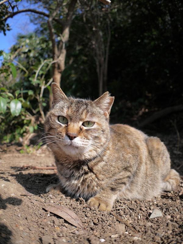 山の斜面で腹ばうキジトラ猫1