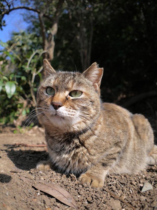 山の斜面で腹ばうキジトラ猫2