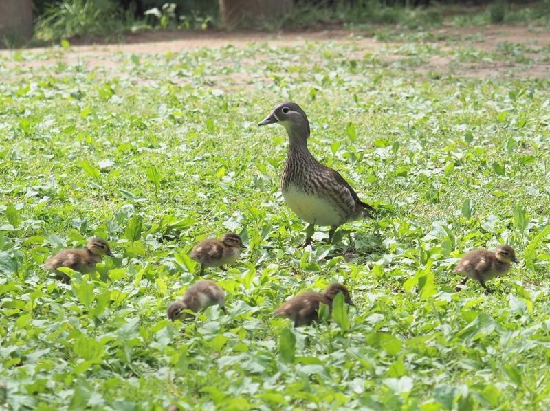 オシドリ♀+幼鳥-2019-06-11my-M1112268
