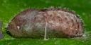 e-カラスシジミ蛹b-8_5mm-2019-05-28-P1400020