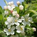 e-エゾノコリンゴ花-2019-05-19mk-Tg593041