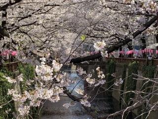 目黒川桜まつり_04