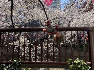 目黒川桜まつり_06