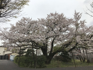 桜の大木_02