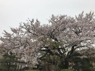 桜の大木_01