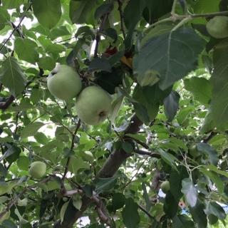 りんごの木_01