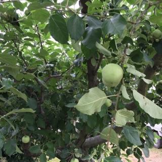 りんごの木_02