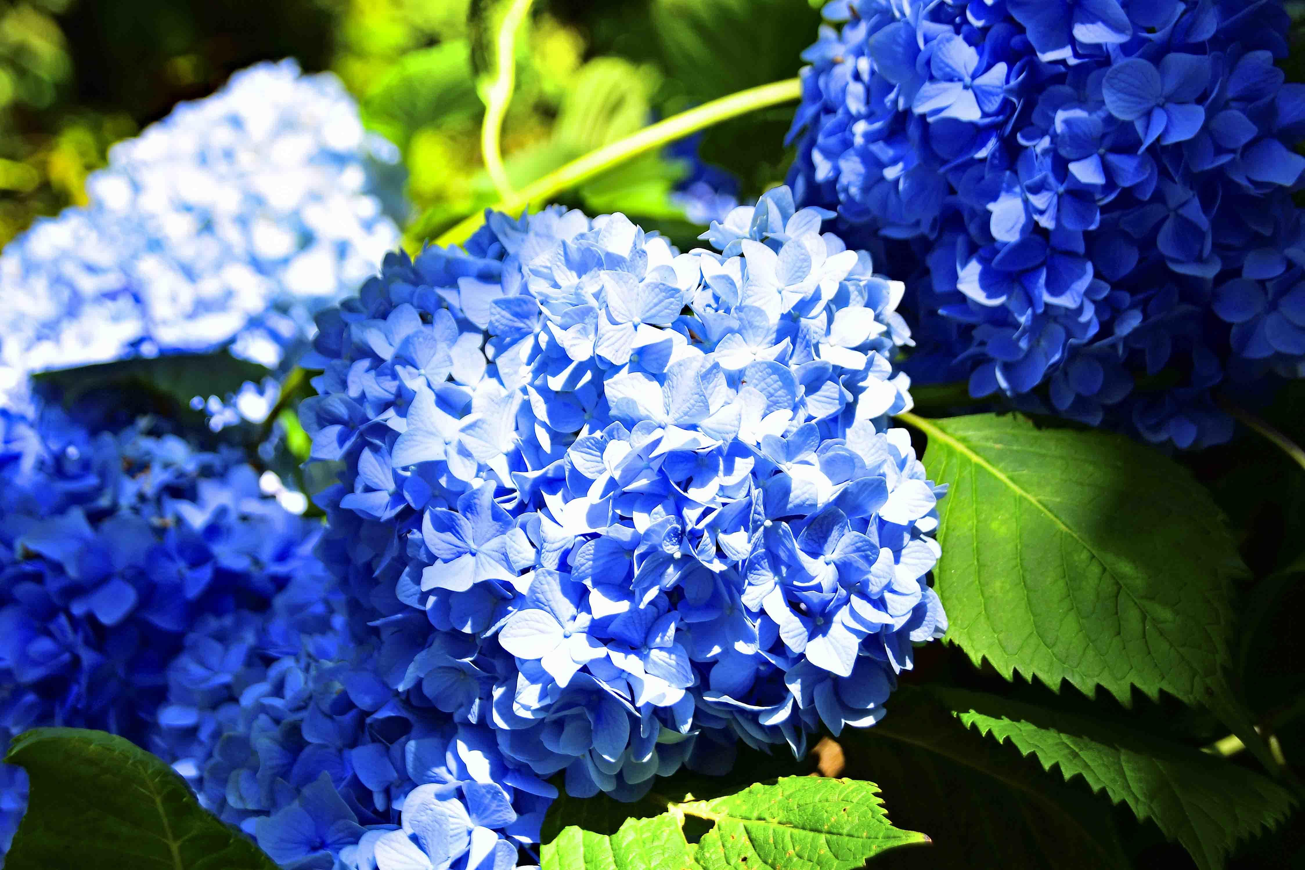 明月院 紫陽花3
