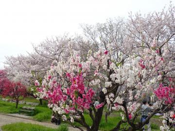 2019年4月13日 大阪城公園桃園