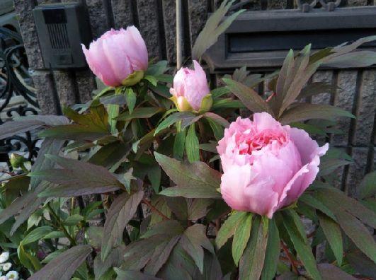今朝開花しはじめた牡丹!とれっとれの写真です 5年越しで育てたので感動ひとしおです