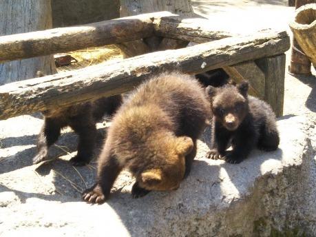 登別 可愛いクマ牧場の子熊たち