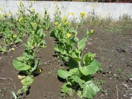 白菜の花2