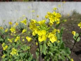 小松菜の花16